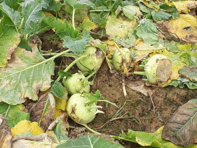 Theo Cục trưởng Cục Trồng trọt, giá rau giảm là theo quy luật... lượng rau đổ bỏ chỉ chiếm một phần nhỏ