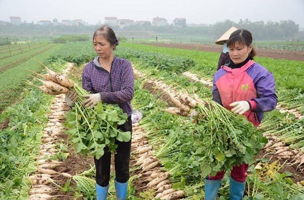 Dù đang phải nhổ bỏ củ cải nhưng trước đó, người dân xã Tráng Việt đã lãi lớn nhờ năng suất cao, củ cải được giá
