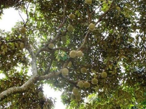 Vườn sầu riêng rộng gần 500.000m2 tại Chanthaburi, Thái Lan sai trĩu quả khiến du khách thích thú. Ảnh: OneApps.