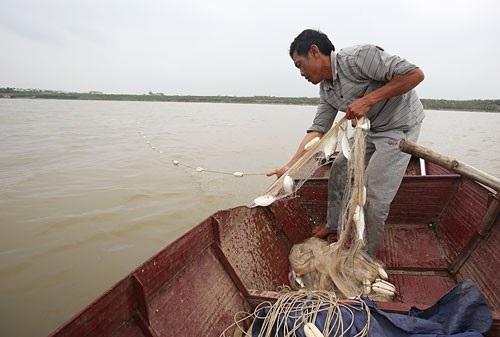 Cá mòi có nhiều thịt, thịt cá thơm, xương mềm. Sau khi cá lên khỏi mặt nước là chết.