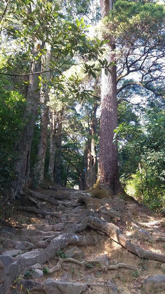 Chỉ dài gần 200m nhưng Đường tùng với nhiều cây tùng cổ được coi là hàng cây trồng cổ nhất Việt Nam