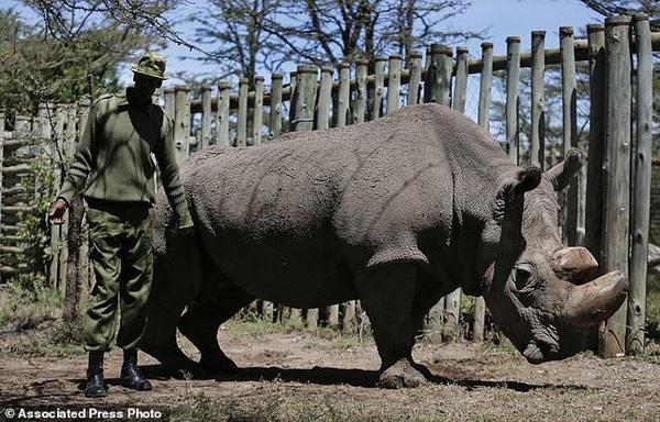 Sudan là cá thể đực cuối cùng của loài tê giác trắng Bắc Phi, được lực lượng vũ trang bảo vệ 24/24 giờ trước khi chết