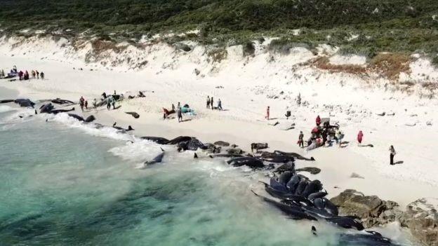 Lúc chập tối, gần 150 con cá voi mắc cạn đã chết - Ảnh từ Chính quyền Tây Australia.