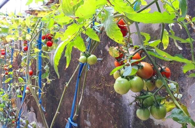 Cà chua là món ăn khoái khẩu và bổ sung nhiều vitamin cho gà cảnh để có bộ lông đẹp. Ảnh: Ngọc Vũ.