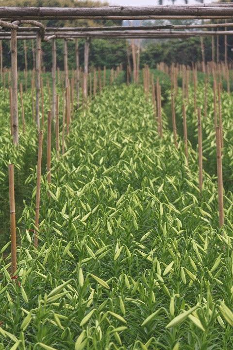Thời điểm hiện tại giá bán buôn tai vườn giao động khoảng 130.000đ – 140.000đ/ 100 bông loa kèn.