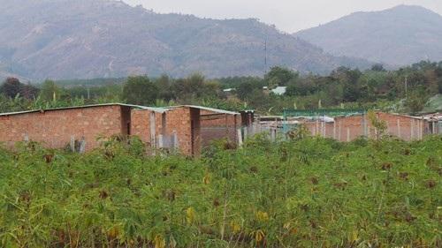 Hàng trăm ngôi nhà tạm bợ đựng dựng lên với các loài cây ngắn, dài hạn được trồng nhằm tăng giá bồi thường GPMB
