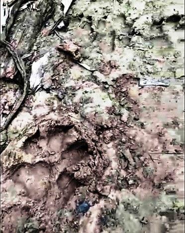 Dấu chân thú ở vùng rừng trồng xã Hải Lâm được cho là dấu chân Báo hoa mai.