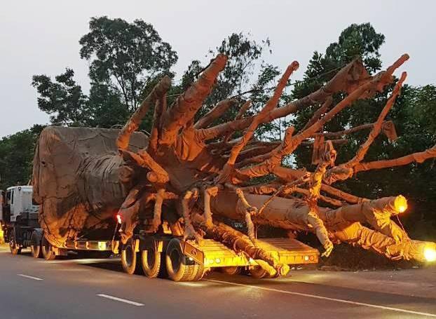 1 xe kéo rờ-moóc chở một cây quái thú to không kém gì chiếc xe chở cây quái thú bị phát hiện tại Hà Tĩnh của Công ty Hải Sơn. Xe này vi phạm 3 lỗi vượt chiều dài, chiều cao cho phép, quá tải cầu đường từ 20-50%