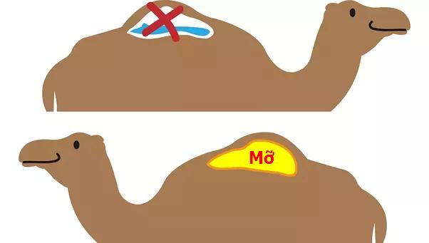 Khám phá bí ẩn về chiếc bướu của loài Lạc đà - 2