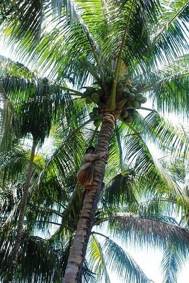 Người thợ lao vun vút trên thân dừa khẳng khiu