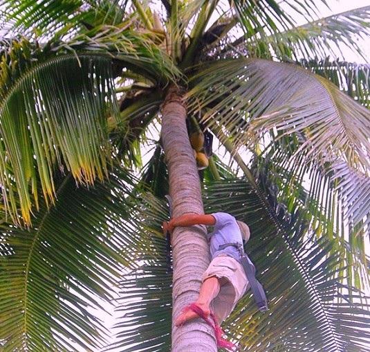 Ông Nguyễn Hồng Tưởng trong một chuyến tác nghiệp trên thân dừa