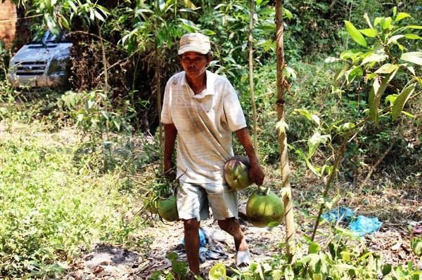Nghề hái dừa hót nhất là vào mùa nắng nóng vì người mua dùng để giải khát