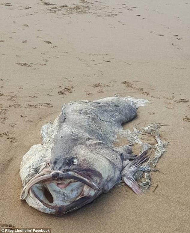 Sinh vật được tìm thấy có hình dáng giống thủy quái với cân nặng khủng.