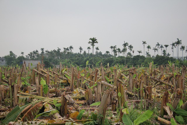 Vườn chuối khoảng 3.000 gốc bị chém nát trong đêm