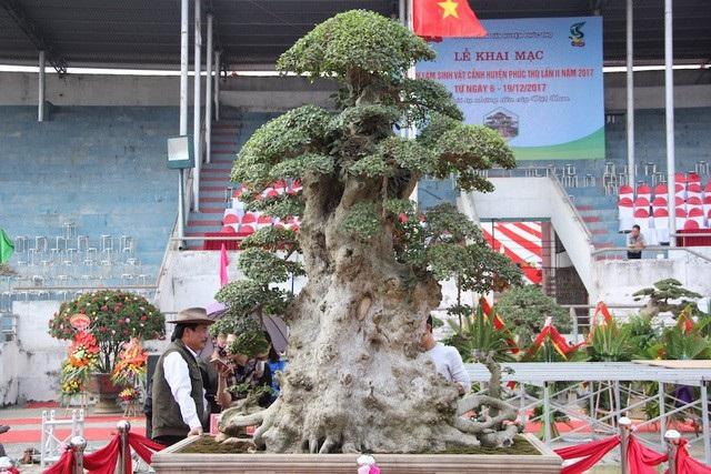 """Trước đó, cây duối cổ """"Lão mai đại thụ"""" của tay chơi Hòa taxi cũng từng gây xôn xao dư luận với hình dáng độc đáo, thân cây u bướu và được định giá hàng chục tỷ VNĐ."""