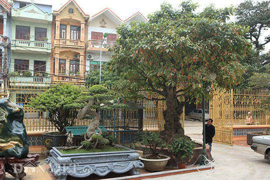 Nằm ngay trước cổng vào của một đại gia đất Phú Thọ, cây lộc vừng gây ngạc nhiên với bất kì ai đi qua nhìn thấy bởi độ kì quái của gốc cây