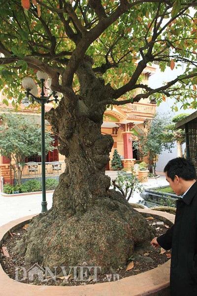 Cây lộc vừng cổ thụ nằm ngay bên cạnh căn biệt thự hoành tráng của anh Toàn ở Phú Thọ