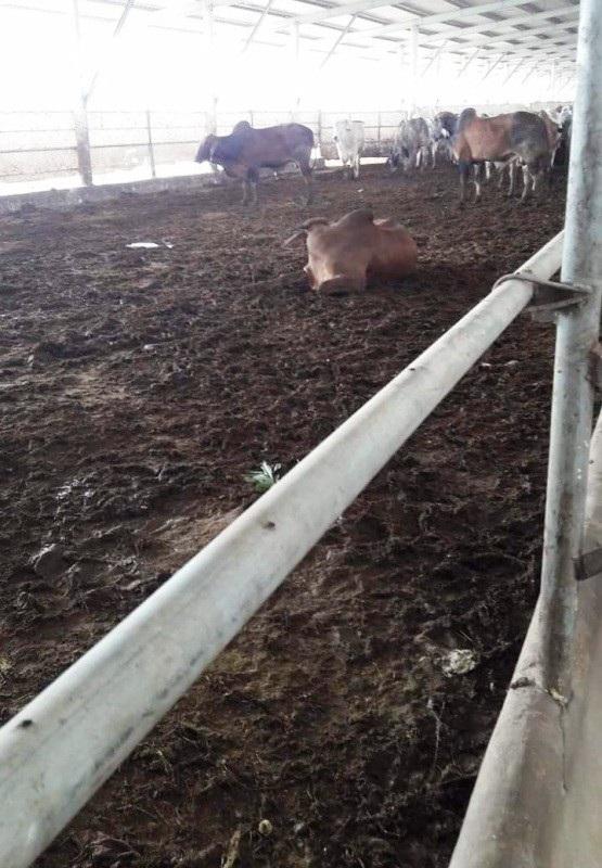 Phân trâu bò không xử lý là một trong những nguyên nhân chính gây nên tình trạng ô nhiễm