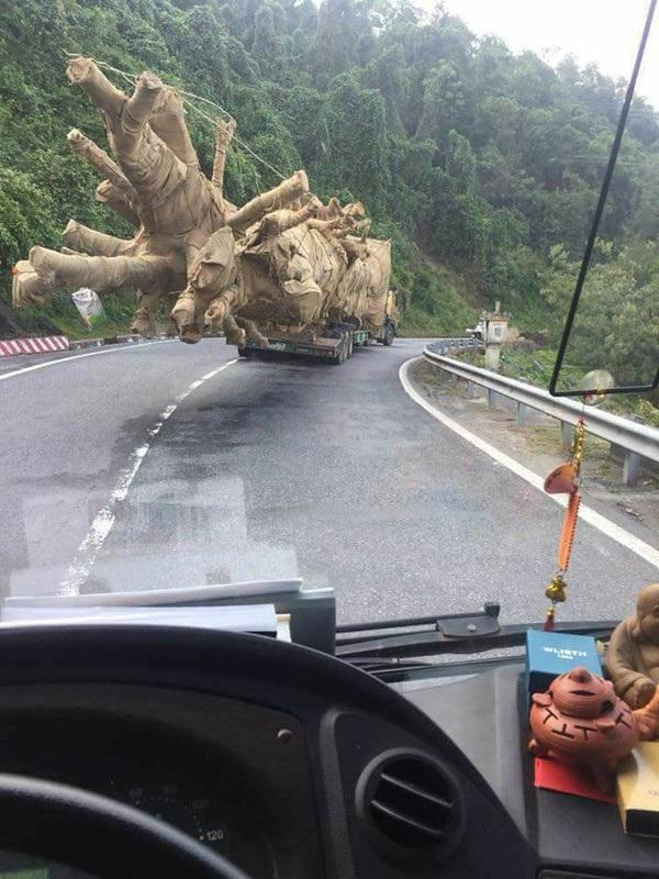 Câykhủng được vận chuyển qua Đèo Phượng Hoàng nằm trên Quốc lộ 26, giữa hai tỉnh Đắk Lắk và Khánh Hòa vào thời điểm ban ngày. Tuy nhiên, lực lượng CSGT Công an hai tỉnh nói trên cho biết không phát hiện.