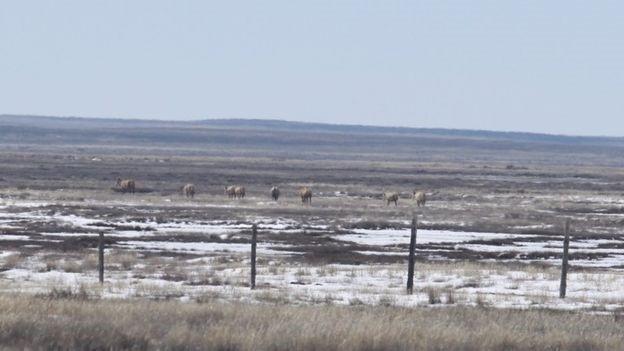 Lừa kulan được thả khỏi một khu bảo tồn thiên nhiên ở trung tâm đất nước - Ảnh của ACBK.