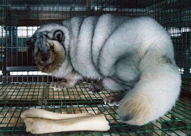 Một con cáo bạc béo quá mức bị nhốt trong lồng.