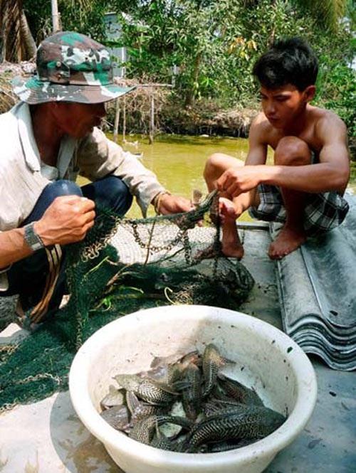 Cá Ma làm rách lưới, thủng bờ bao.
