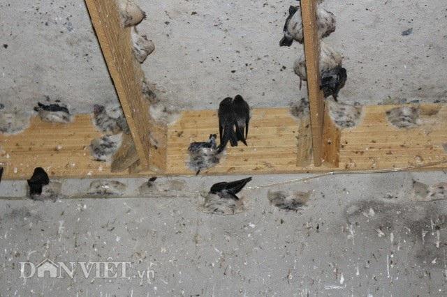 Tổ yến đậu khá nhiều bên trong căn nhà cấp 4 đầu tiên của gia đình anh Võ. Ảnh: Văn Long.