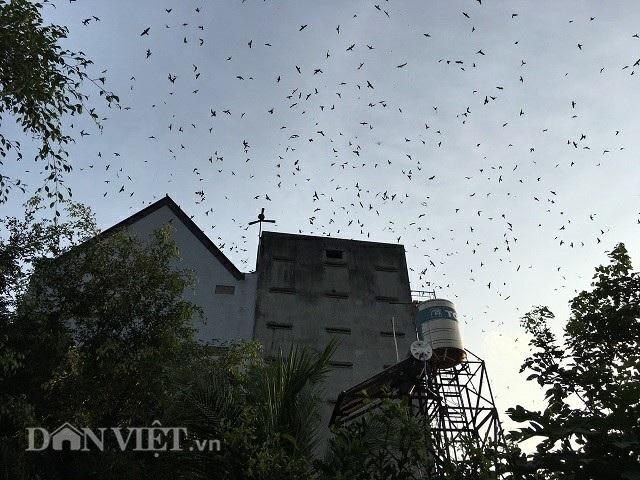 Những đàn chim yến đông đúc bay về nhà anh Võ sau một ngày kiếm ăn. Ảnh: Văn Long.