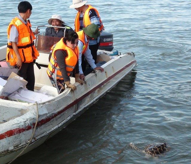 Con đồi mồi được thả nhưng không chịu lặn xuống biển nên được đưa trở lại để tiếp tục thuần dưỡng. (Ảnh: Quốc Quý).