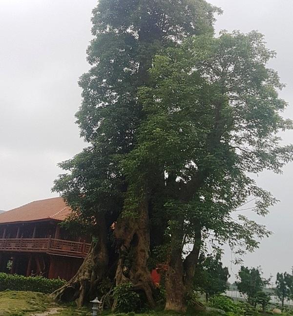 Trong khuôn viên khu trang trại kinh tế tổng hợp cá - lúa này còn quy tụ nhiều loại cây cổ thụ, trong đó có cây hơn một nghìn năm tuổi được đưa từ nơi khác về trồng.