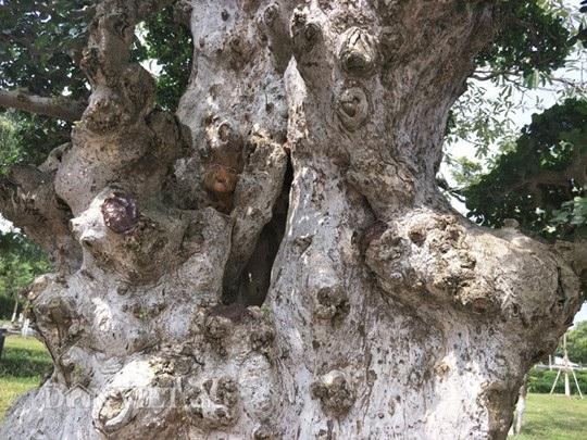 Gốc và thân cây Lão mai đại thọ rất cổ thụ.