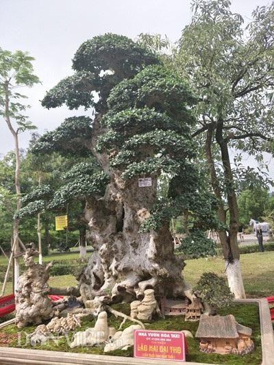 Toàn cảnh cây duôí kiểng cổ thụ của anh Hòa ở Hưng Yên.