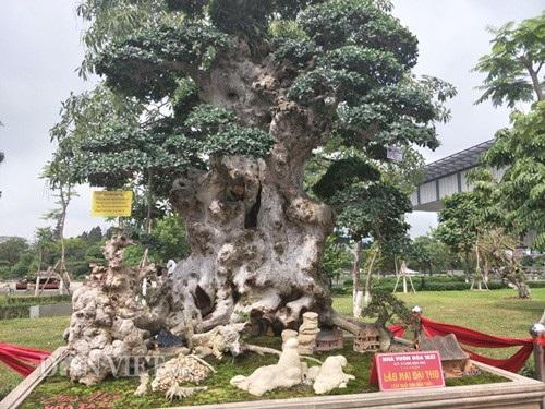 Cây Lão mai đại thọ của anh Hòa có nghĩa là một người cha có rất nhiều con cháu, phần trên ngọn cây là hai cái tay xòe ra, bên dưới là các con cháu.