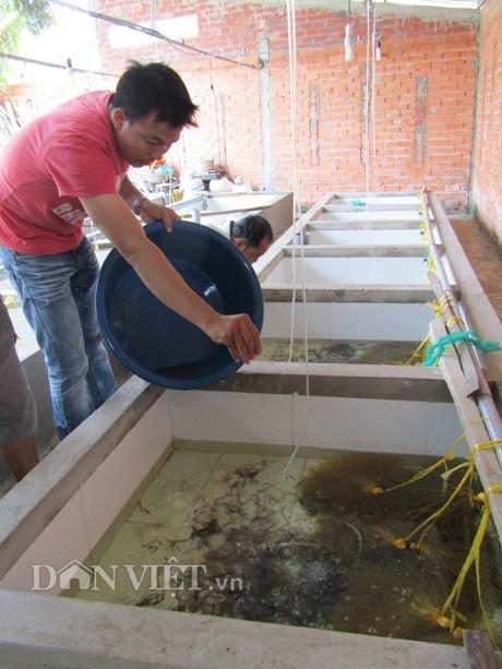 Công nhân trại lươn Thanh Tân đang chăm sóc lươn giống trong bể ươm nuôi.