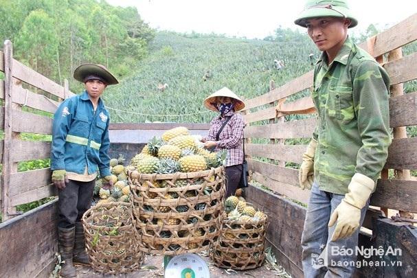 Nghỉ 30.4, lên đồi xem nông dân xứ Nghệ thu cả mùa dứa chín vàng - 5