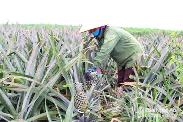 Nghỉ 30.4, lên đồi xem nông dân xứ Nghệ thu cả mùa dứa chín vàng - 1
