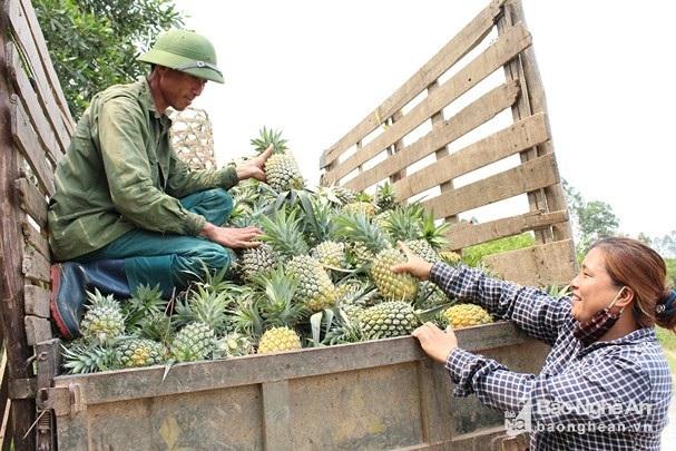 Nghỉ 30.4, lên đồi xem nông dân xứ Nghệ thu cả mùa dứa chín vàng - 3
