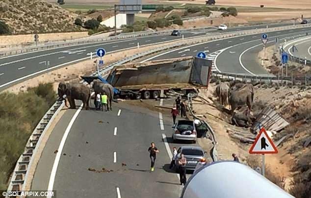 Cảnh tượng vụ tai nạn. Xe tải đã bị lật sau một cú va chạm khiến đàn voi trong thùng xe hoảng loạn bỏ chạy ra bên ngoài.