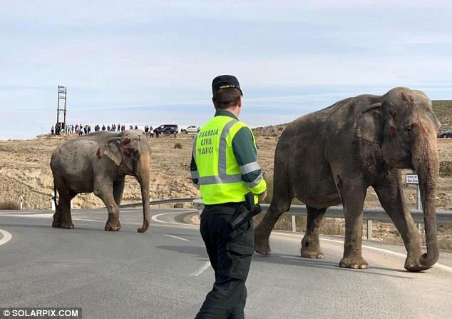 Hai con voi với những thương tích vẫn còn đang rỉ máu bước đi trên mặt đường. Khi xảy ra vụ việc, con đường này đã bị phong tỏa.