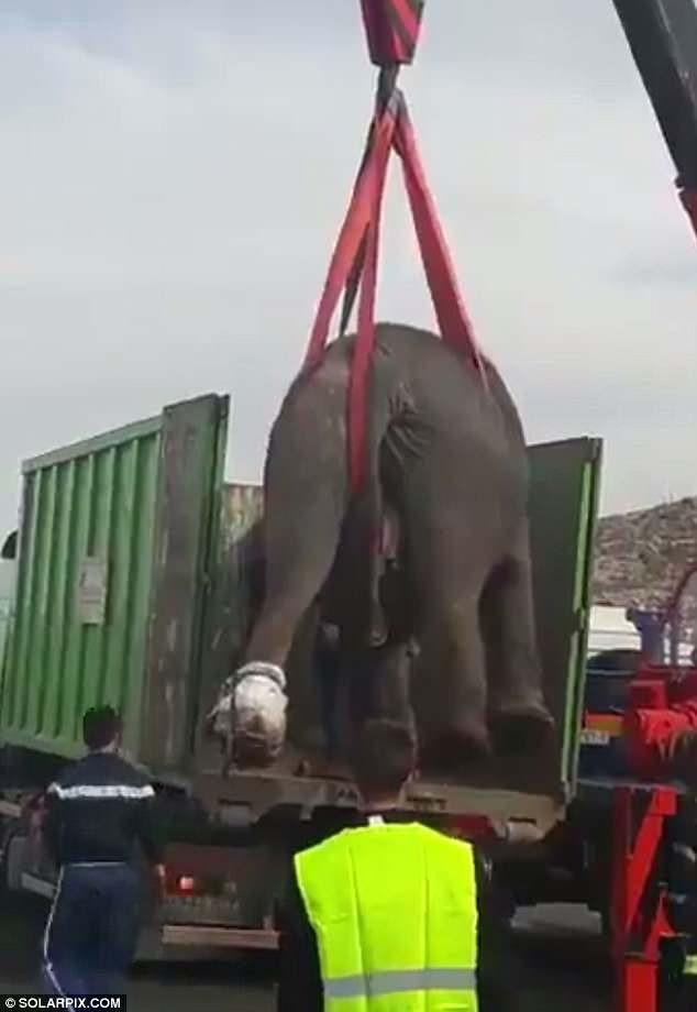 Xác con voi thiệt mạng được lực lượng chức năng đưa vào thùng xe tải.