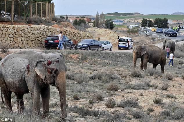 Tuyến đường tạm thời bị phong tỏa. Giao thông bị ngưng trệ. Người quản tượng đã có mặt để dẫn đàn voi tới khu vực an toàn hơn.