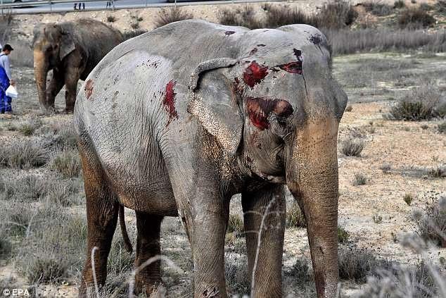 Một con voi với những vết thương thấy rõ sau vụ tai nạn.