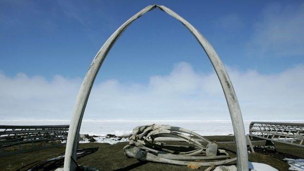 Cá voi đầu cong từng bị dân bản xứ Alaska săn bắt từ lâu.