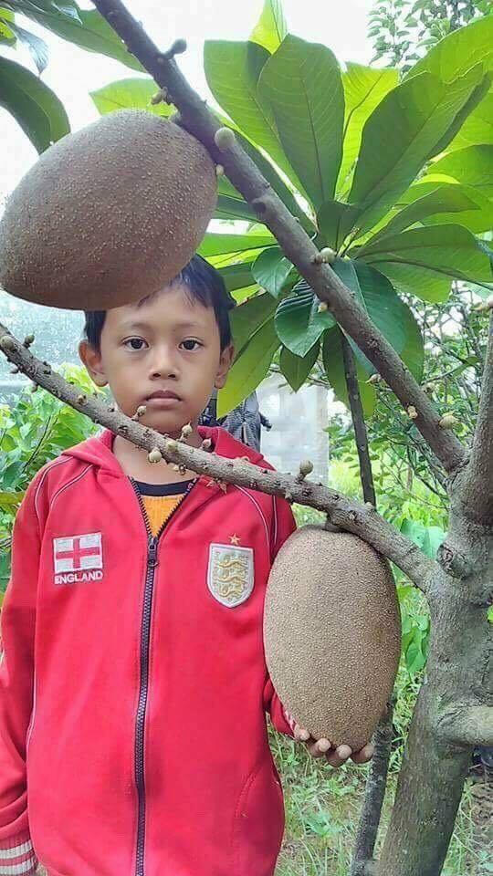 Cây hồng xiêm có thể cho quả trọng lượng lên đến 2kg.