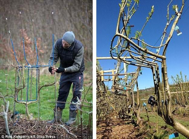 """Mỗi một chiếc ghế gỗ liễu """"thiên nhiên"""" kiểu này mất 7-9 năm mới có thể hoàn thiện. Quá trình ấy còn đòi hỏi sự kỳ công, tỉ mỉ uốn cành, làm sao để chiếc ghế sau khi được cắt xuống khỏi cây là một sản phẩm đặc biệt vững chắc."""