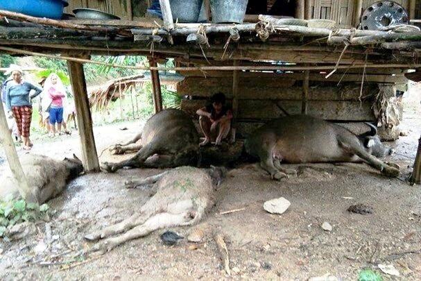 Cả 4 con trâu của gia đình ông Lô Văn Đoàn bị sét đánh chết.