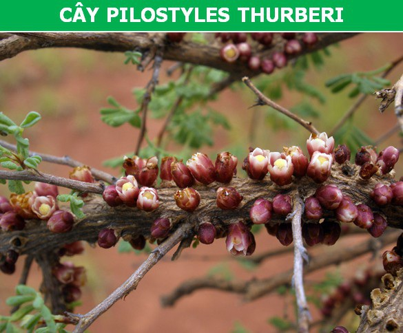 """Những loài cây ký sinh """"đáng kinh ngạc"""" nhất thế giới - 2"""