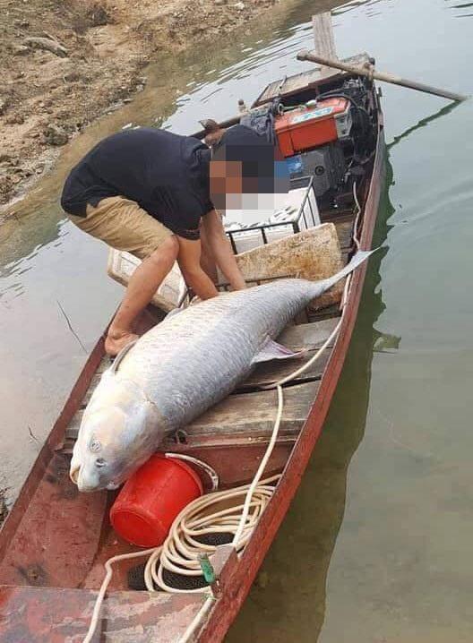 """Một nhóm ngư dân chuyên đánh bắt cá ở hồ Thác Bà sau thời gian khoảng hơn 1 giờ thả lưới đã bắt được một con cá trắm đen """"khủng"""" nặng tới 61kg, dài 1,5m."""