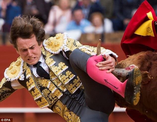 Người đấu bò Roman Collado đã vừa bị thương nặng ở chân trái khi tham gia cuộc đấu tổ chức thành phố Sevilla, miền nam Tây Ban Nha.