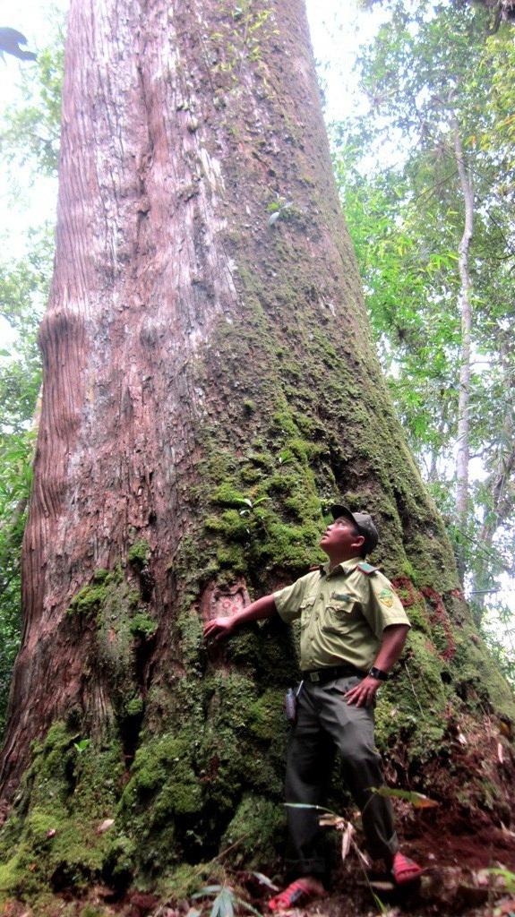 Lực lượng kiểm lâm huyện kiểm tra rừng pơmu